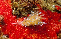 Nudibranch (Antiopella cristata)