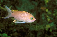 Swallowtail seaperch (Anthias anthias)