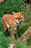 Fox (Vulpes vulpes). Hertfordshire. England