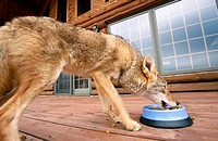 Coyote (Canis latrans) eating dog food on the deck of a rural home. Minnesota, USA