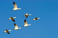 Snow Goose (Chen caerulescens)