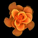 One Orange Rose