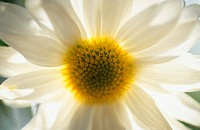 One White Chrysanthemum
