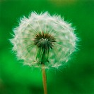 One White Dandelion Seed