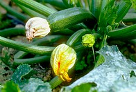 Courgettes on the plant