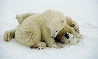 Polar bear (Ursus maritimus) cubs playing