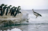 Adelie Penguin (Pygoscelis adeliae), commuters leaping off ice edge to go to sea. Franklin Island, Ross Sea, Antarctica