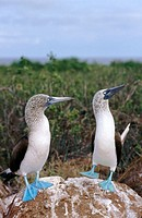 Blue-footed Boobies (Sula nebouxii excisa). Courtship dance with sky ponting and foot lifting. Galápagos Islands. Ecuador