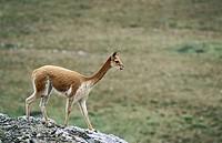 Vicuña (Lama Vicugna). National Reserve of Pampa Galeras. Peruvian Andes
