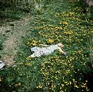 SG hist., Menschen, Frauen, junge Frau im Sommerkleid auf einer Frühlingswiese mit Löwenzahn liegend, 70er Jahre  frühling wiese, blumen blumenwiese, ...
