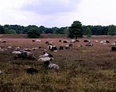 Geografie, BRD, Nordrhein-Westfalen,  Münsterland, Westruper Heide, Naturpark Hohe Mark, blühende Heidelandschaft mit Schafen  heidekraut, landschaft ...