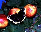 Zoologie, Insekten, Schmetterlinge, Trauermantel (Nymphalis antiopa), auf Nektarine, Verbreitung: Europa,  gemäßigtes Asien bis Japan, Nordamerika sch...