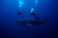 Zoologie, Fische, Haie, Walhai  (Rhincodon typus) mit zwei Tauchern,  Verbreitung: Warme Meere  Hai, Planktonfresser, taucher, luftblasen