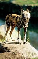 Zoologie, Säugetiere, Hunde, Wildhund, afrikanischer Wildhund auf Stein stehend,   hund wild