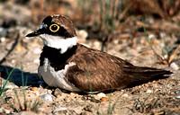 Zoologie, Vögel, Flußregenpfeifer  (Charadrius dubius) brütend, Verbreitung: brütet in Nordwestafrika u. Eurasien, überwintert im Sahel, Süd- und Südo...