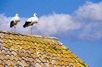 White Stork (Ciconia ciconia), pair on top of a house rooftop. Spain