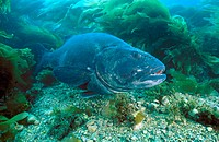 Giant Sea Bass (Stereolepis gigas), rare protected species living to over 70 years. California to Baja (Mexico), Eastern Pacific