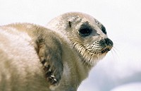 Ringed seal (Phoca hispida). Arctic and Subarctic