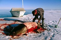 Bearded seal (Erignathus barbatus) being slaughtered by inuit native. Arctic and Subarctic