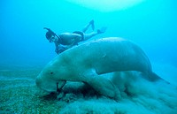 Dugong (Dugong dugon) adult male feeding on sea grass (Cymodocea serrulata). Tropical Indo Pacific from the Red Sea to Vanuatu