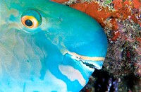 Ember parrotfish (Scarus rubroviolaceus) portrait of sleeping adult
