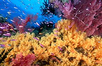 Yellow soft corals (Dendronephthya sp.) and anthias fish (Anthias sp.) over coral reef