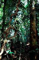 Rainforest in Belum, Perak, Malaysia