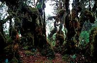 Mossy forest, Main Range, Perak, Malaysia