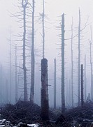 Acid rain: the remains of spruce trees devastated by acid rain in the Karkonoski National Park, south-west Poland. Located on the border with Czechosl...