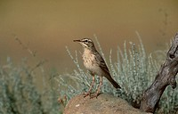 Tawny Pipit (Anthus campestris)