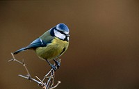Blue Tit (Parus caeruleus)