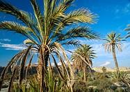 Palms at Tabernas desert. Almería province, Spain
