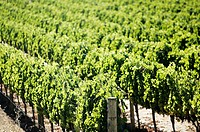 Vineyards in Yountville (Napa Valley). California, USA