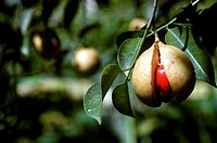 Burst ripe nutmeg apple on the tree