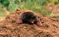 Mole (Talpa europaea)