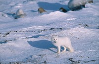 Arctic fox (Alopex lagopus) on open tundra. Hudson Bay. Northern Manitoba. Canada