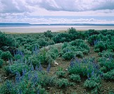 Lupine and sagebrush above Alvord Desert. Harney County. Eastern Oregon. USA