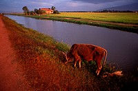 Cow grazing near a canal, Malaysia