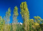 Black Poplars (Populus nigra). Cañizares. Cuenca province, Spain