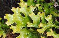 Detail of a Lobaria sp thalus