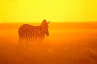 Burchell´s Zebra, Etosha National Park, Botswana