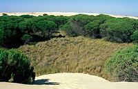 'Dunas móviles' (moving dunes) and 'corrales' (groups of pine trees surrounded by dunes). Doñana National Park. Huelva province,  Spain