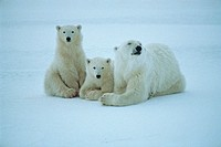 Wildlife, Mammal, Bear, Polar Bear