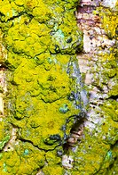 Lichen on bark of a cork oak (Quercus suber)