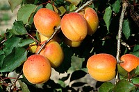 Mature apricot fruits on Apricot tree (Prunus armeniaca)