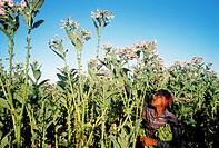Tobacco cultivation. Santiago Region. Dominican Republic