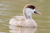 Hybrid between White-cheeked Pintail (Anas bahamensis) and Southern Wigeon (Anas sibilatrix): hybrids between this species rarely ocurre. Buenos Aires...