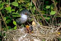 Sardinian Warbler (Sylvia melanocephala) with nest