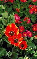 Tulip (Tulipa Apeldoorn Elite)