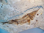 Protopsephurus liui, well-preserved primitive paddlefish (Acipenseriformes: Polyodontidae) from the Lower Cretaceous of China